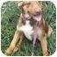Photo 2 - Beagle/Hound (Unknown Type) Mix Puppy for adoption in Kansas City, Missouri - Barney