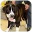 Photo 2 - St. Bernard Mix Dog for adoption in Coleraine, Minnesota - Cami