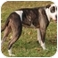 Photo 2 - American Staffordshire Terrier Mix Dog for adoption in Chicago, Illinois - Melody