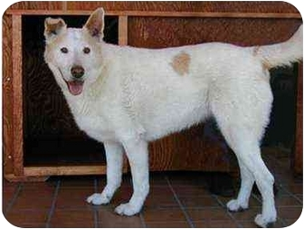 Husky/Retriever (Unknown Type) Mix Dog for adoption in West Los Angeles, California - Sadie #3