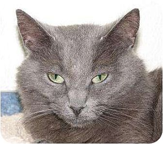 Domestic Shorthair/Domestic Shorthair Mix Cat for adoption in Woodstock, Illinois - Lizzy