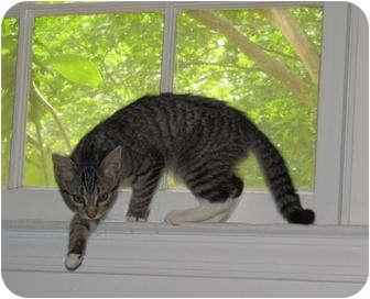 Domestic Shorthair Kitten for adoption in Fairfax, Virginia - EMILY-COURTESY POST