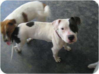 American Pit Bull Terrier Mix Dog for adoption in Plano, Texas - Cookie