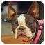 Photo 1 - Boston Terrier Dog for adoption in Lynnwood, Washington - Nutmeg