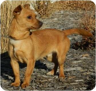 Chihuahua/Dachshund Mix Dog for adoption in Columbus, Nebraska - Lobo