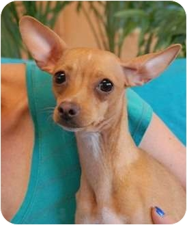 Chihuahua Dog for adoption in Las Vegas, Nevada - Socks