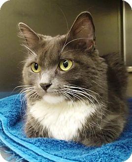 Domestic Longhair Cat for adoption in Edmond, Oklahoma - Jade