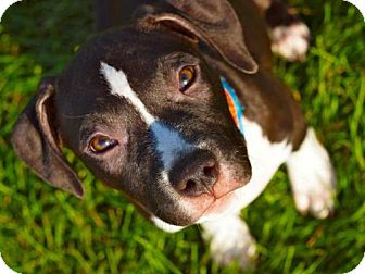 Pit Bull Terrier Mix Dog for adoption in WARREN, Ohio - Charlie