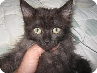 Domestic Mediumhair Kitten for adoption in Concord, California - CHOW CHOW QUITE CUTE AND CUDDLY