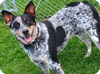 Cattle Dog Mix Dog for adoption in Fruit Heights, Utah - Bozo