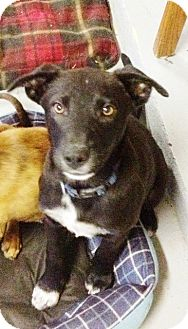 Labrador Retriever/Blue Heeler Mix Dog for adoption in Austin, Texas - Fankie
