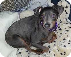 Miniature Pinscher Dog for adoption in Columbus, Ohio - Lily