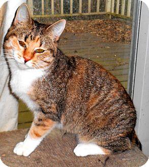 Domestic Shorthair Kitten for adoption in Chattanooga, Tennessee - Karla