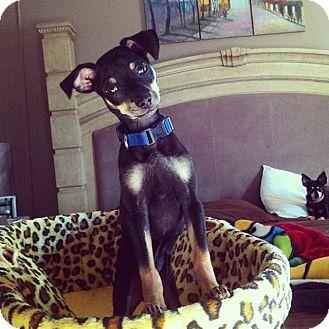 Miniature Pinscher Mix Puppy for adoption in Davie, Florida - Champ