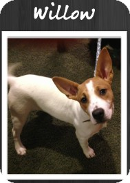 American Pit Bull Terrier Mix Puppy for adoption in Grand Rapids, Michigan - Willow