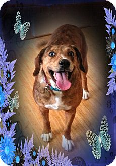 Catahoula Leopard Dog/Mountain Cur Mix Dog for adoption in Ijamsville, Maryland - Peggy Sue