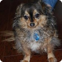 Adopt A Pet :: Wiggles - New Milford, CT