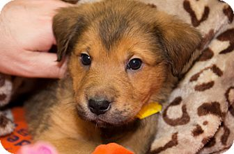Labrador Retriever/Golden Retriever Mix Puppy for adoption in Charlestown, Rhode Island - Primrose