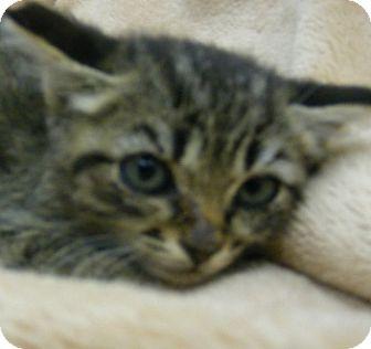Domestic Shorthair Kitten for adoption in Olive Branch, Mississippi - Drake
