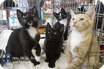 Domestic Shorthair Kitten for adoption in Merrifield, Virginia - Mr. Sir