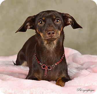 Dachshund Mix Dog for adoption in Las Vegas, Nevada - Cookie