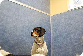 Pointer/Treeing Walker Coonhound Mix Dog for adoption in Ridgway, Colorado - Bob