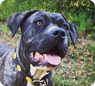 Pit Bull Terrier Mix Dog for adoption in San Francisco, California - Mia