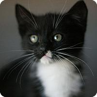 Adopt A Pet :: Archie - Canoga Park, CA