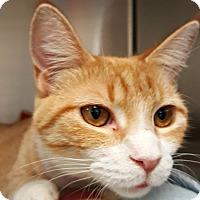 Adopt A Pet :: Marmalade - Chesapeake, VA