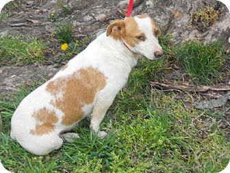 Jack Russell Terrier Dog for adoption in PRINCETON, Kentucky - MAX