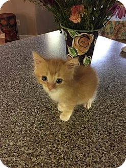 Domestic Shorthair Kitten for adoption in Columbia, South Carolina - Itty Bitty