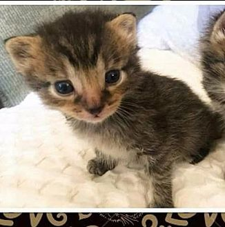 Domestic Shorthair Kitten for adoption in Freeport, New York - Joseph