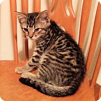 Adopt A Pet :: Cheyenne - Rocky Hill, CT