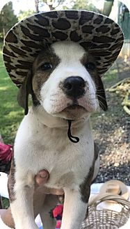 Border Collie/Hound (Unknown Type) Mix Puppy for adoption in Southbury, Connecticut - Boss~adopted!