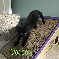 Adopt A Pet :: Deacon - Sterling Hgts, MI