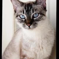 Adopt A Pet :: Suki - Norman, OK