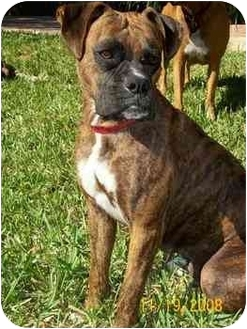 Boxer Dog for adoption in Brunswick, Georgia - Nina