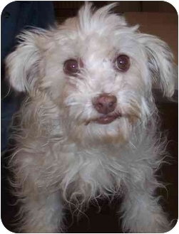Maltese Mix Dog for adoption in Calgary, Alberta - Colby
