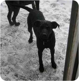 Labrador Retriever/Feist Mix Dog for adoption in Bel Air, Maryland - Tyson