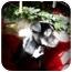 Photo 2 - German Shepherd Dog/Labrador Retriever Mix Puppy for adoption in Southington, Connecticut - Olivia