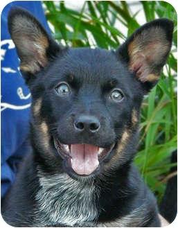 Australian Cattle Dog/German Shepherd Dog Mix Puppy for adoption in Los Angeles, California - Cleopatra von Nacchio