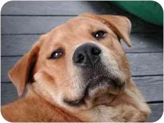 Golden Retriever/Chow Chow Mix Dog for adoption in Portland, Oregon - Lloyd