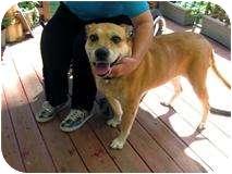 Labrador Retriever/Boxer Mix Dog for adoption in Quentin, Pennsylvania - Sage - So Well Behaved!