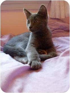 Russian Blue Kitten for adoption in Brighton, Michigan - Granite