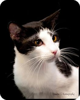 Domestic Shorthair Cat for adoption in Houston, Texas - Jax