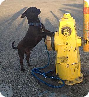 Chihuahua Dog for adoption in San Diego, California - Bruno