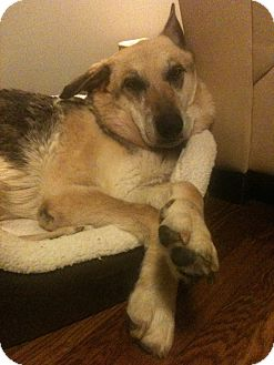 German Shepherd Dog Mix Dog for adoption in Nashville, Tennessee - Maggie