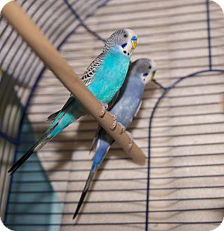Parakeet - Other for adoption in Medfield, Massachusetts - Tap & Jazz