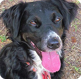 Border Collie Mix Dog for adoption in Houston, Texas - Mollie