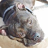 Adopt A Pet :: Thaddie - Reisterstown, MD